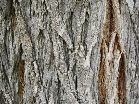 Photo for Texture of tree bark - Royalty Free Image