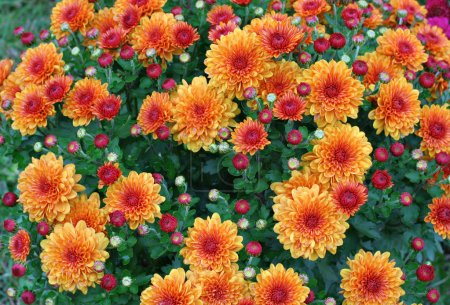 Gold and Red Chrysanthemums