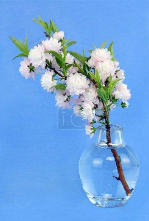 Flowering Almond in Vase