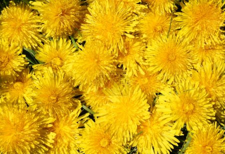 Background of the yellow dandelions