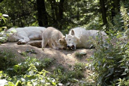 Photo pour Le petit essaie d'enlever l'os d'un loup . - image libre de droit