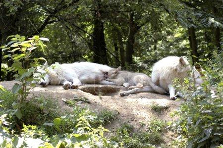 Photo pour Louveteau de loup polaire allaitant le lait maternel . - image libre de droit