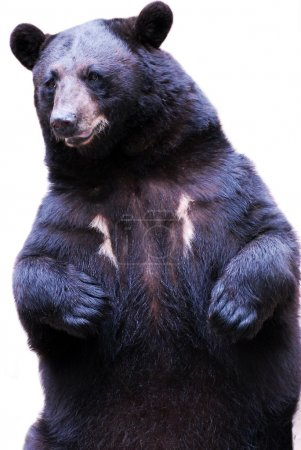 Photo for Black bear - Royalty Free Image