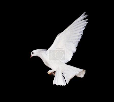 Photo pour Magnifique pigeon blanc et main féminine en gros plan - image libre de droit