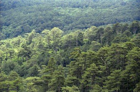 Photo pour Forêt de conifères continue. Découvre d'en haut. - image libre de droit