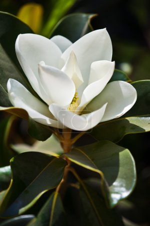 Photo for White magnolia flower - Royalty Free Image