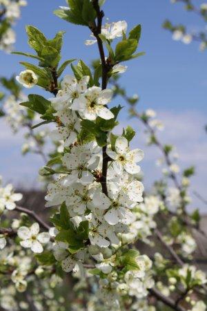 Apple trees in bloom.