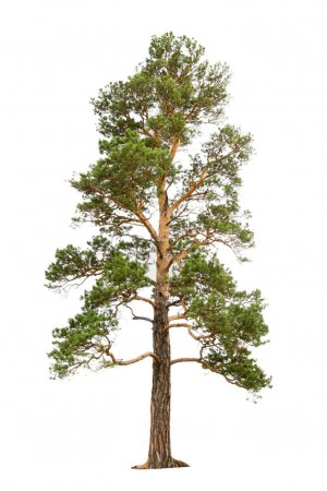 Photo pour Vieux pin isolé sur blanc - image libre de droit