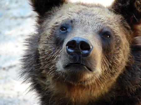 Photo pour Portrait rapproché de l'ours brun - image libre de droit