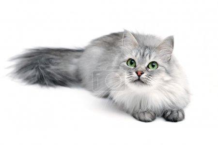 Photo pour Chat à poils longs gris aux yeux verts, se concentrer sur le visage - image libre de droit