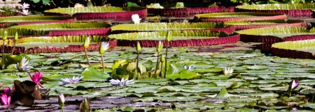 Nymphaea or Water lilies