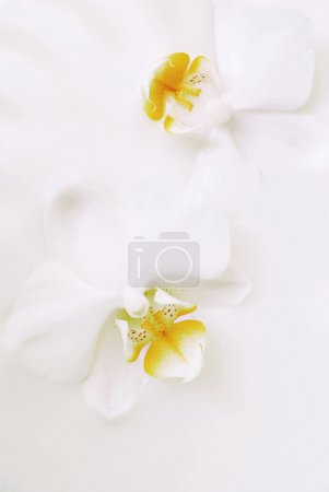Orchids in cream