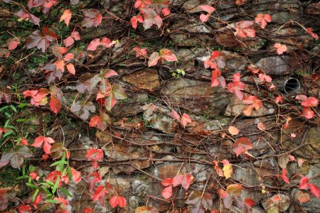 Wall with many red leaf