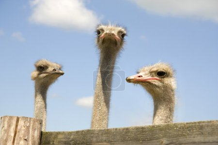 Three ostriches behind a fence on a blue background