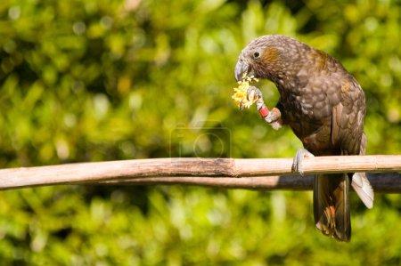 Kaka feeding 02