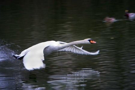 Photo pour Cygne volant au-dessus de la surface d'un lac - image libre de droit