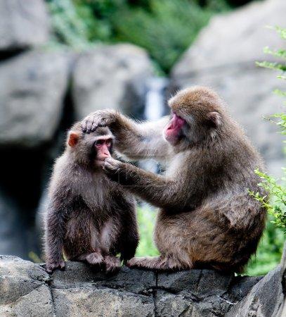 Photo pour Deux singes japonais neige sur rock formation toilettage, pendant que l'on tient les autres tête et essaie de mettre quelque chose dans sa bouche - image libre de droit