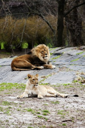 Lion and Lioness laying together