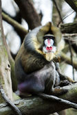 Mandrill sitting on tree branch