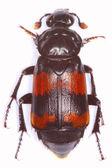 Necrophorus nyomozó temetkezési beetle