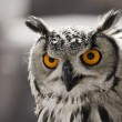 Closeup portrait of an owl. The focus is in his ey...