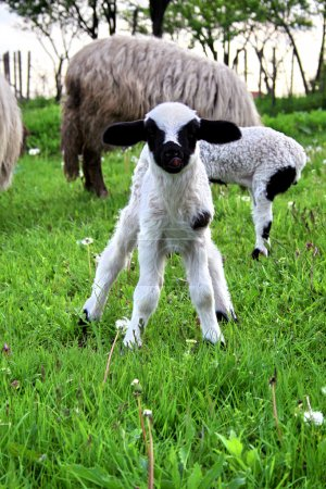 Little Lamb Animal