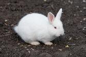 Small Angora Rabbit