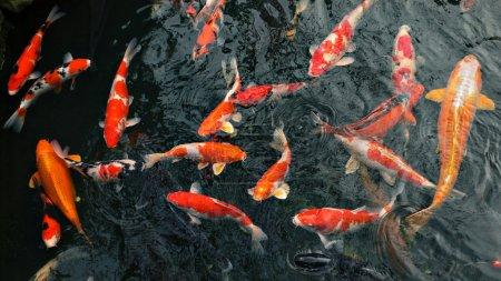 Many carp fishes