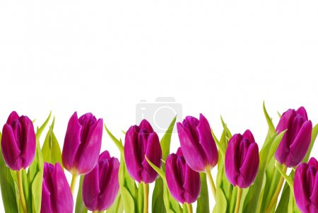 Photo for Border of purple color tulips - Royalty Free Image