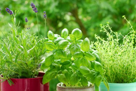 Photo for Fresh herbs in pots on balcony garden - Royalty Free Image