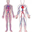 Diagram of the human vein and anatomy in vector...