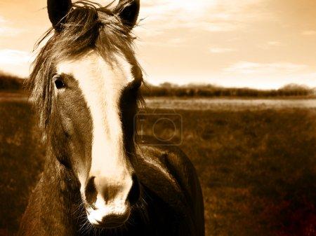 Photo pour Image sépia tête de beau cheval à libérer de l'espace pour le texte - image libre de droit