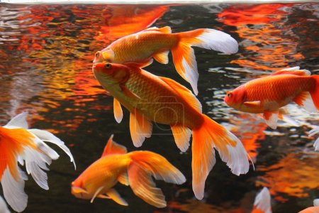 Photo for Gold Fish in aquarium. Popular pet and Feng Shui symbol of wealth and prosperity. - Royalty Free Image