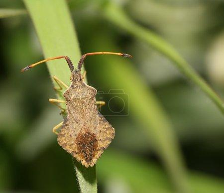 Shield bug on a leaf