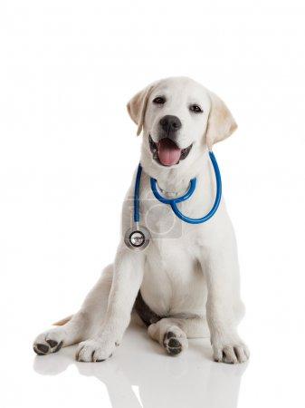 Photo pour Beau labrador retriever avec un stéthoscope au cou, isolé sur blanc - image libre de droit