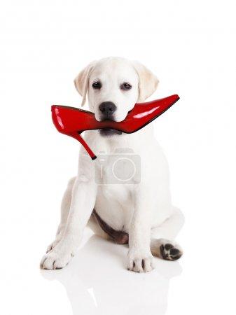 Foto de Perro perdiguero de Labrador con un zapato en la boca de res - Imagen libre de derechos