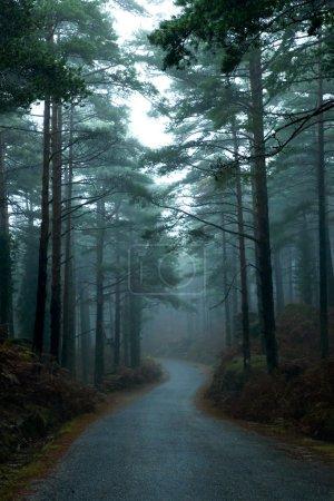 Photo pour Chemin à travers une forêt avec grands arbres et de la brume - image libre de droit