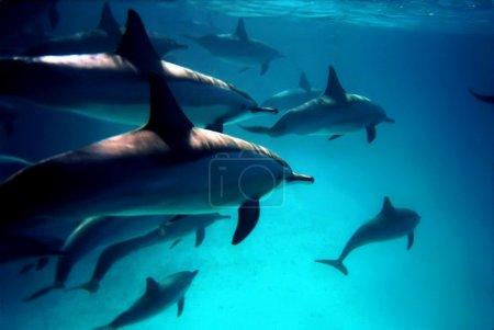 Photo pour Plongée avec les dauphins dans la mer Rouge, Egypte - image libre de droit