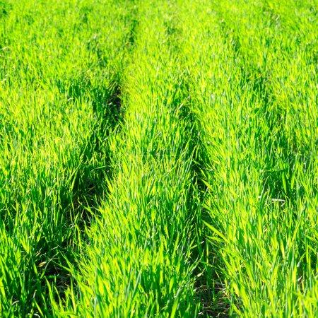 Photo pour Herbe verte sur un champ de printemps - image libre de droit