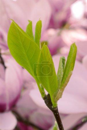 Foto de Magnolia deja aislado sobre el fondo pétalos - Imagen libre de derechos