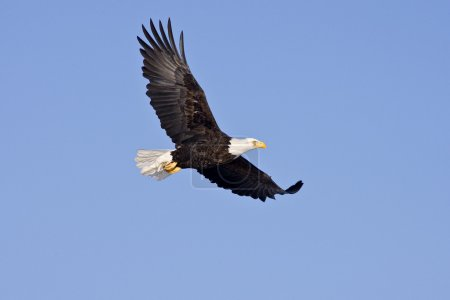 Bald Eagle in flight isolated on a blue sky...