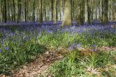 Spring bluebell woods