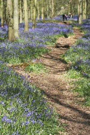 Photo pour En parcourant les bois bluebell à ashridge dans les collines de chiltern herfordshire Angleterre - image libre de droit