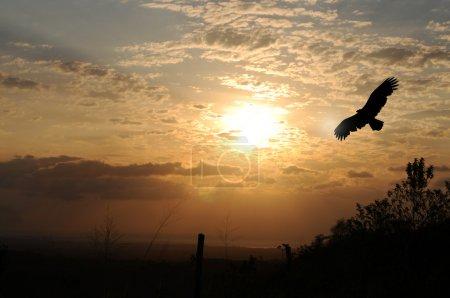 Photo pour Silhouette d'aigle contre un beau lever de soleil à El Valle de Anton, Panama . - image libre de droit