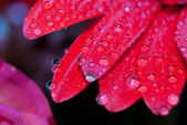 Red daisy petals covered by morning dew