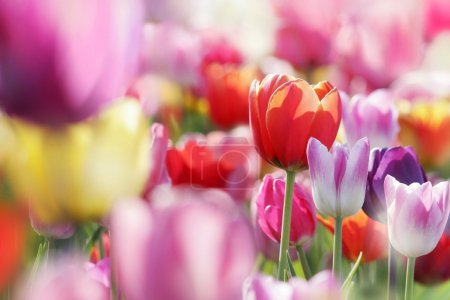 Beautiful blooming tulips