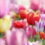 Field of beautiful blooming tulips in lower saxony...