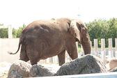 Walking elephant in zoo