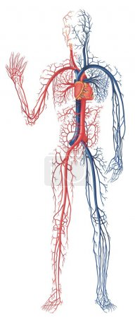 Circulation of Blood - colored illustration, vecto...