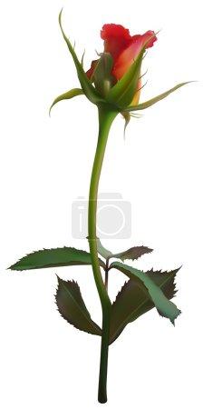 Illustration for Rose Flower Bud - colored illustration, vector - Royalty Free Image